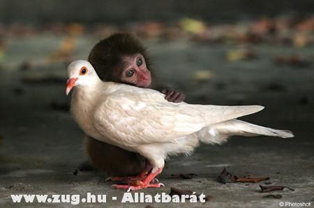 Kismajom és galamb