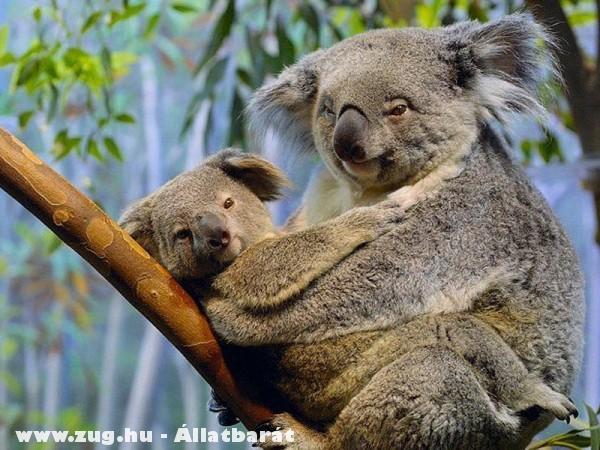 Koalamacik