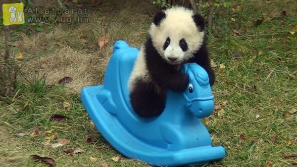 Hintázó panda