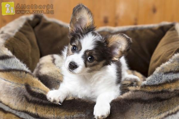 Füles kutyus