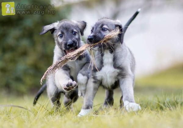 Játszadozó kutyusok