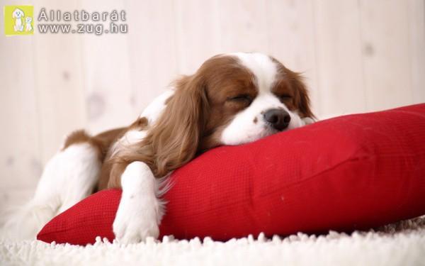 Alvó kutyus