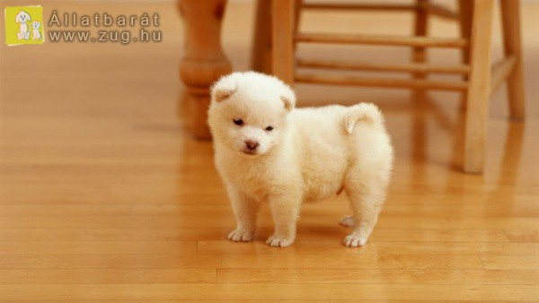 Szőrpamacs kutyus