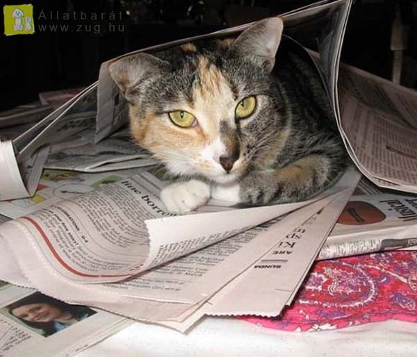 Újságolvasó cica