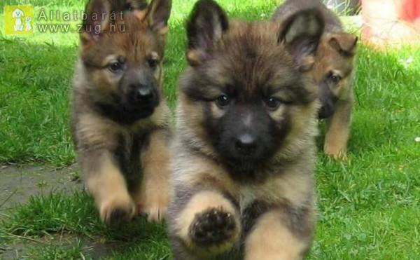 Kutyakölyök