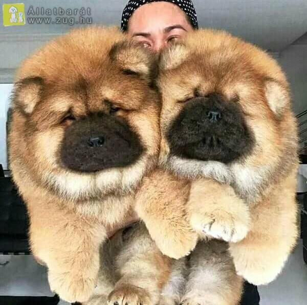 Csau csau kutyák