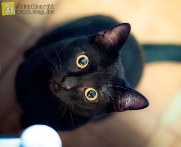 Halloween fekete cica