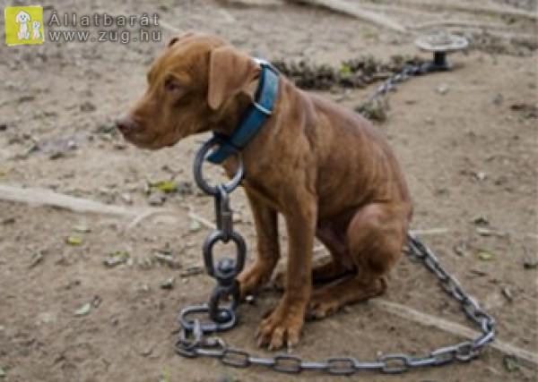 Kölyök kutya láncon