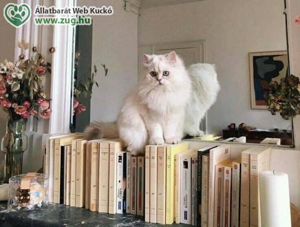 Perzsa cica
