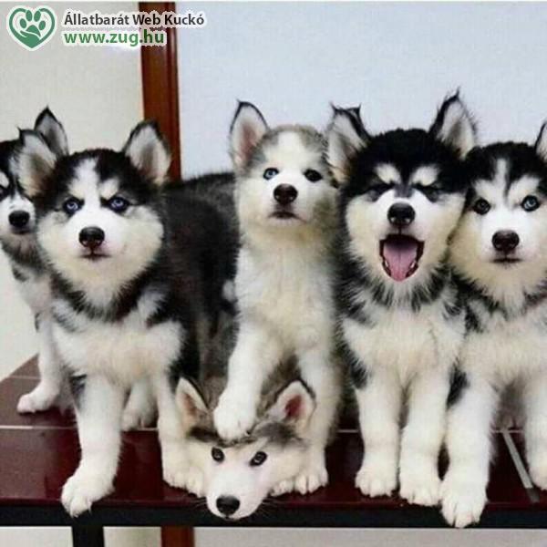 Szánhúzó kutyák