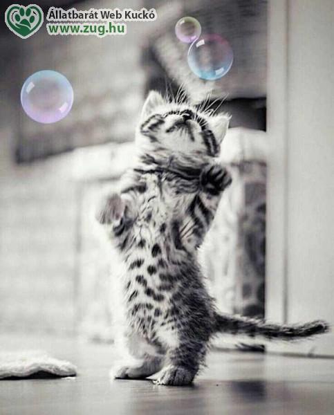 Cica buborék