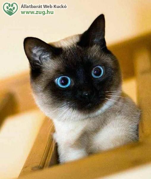 Sziámi cica szemek