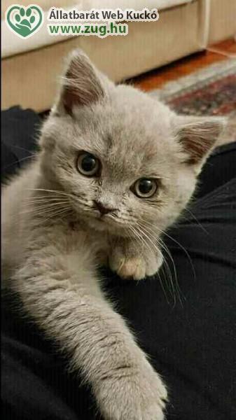 Perzsa kölyök cica