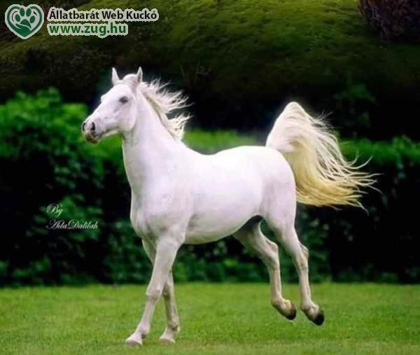 Fehér lovon