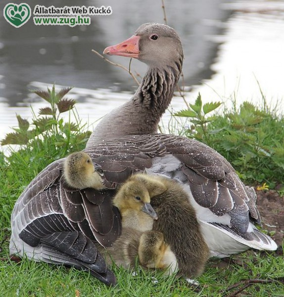 Lúd család a tónál