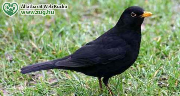Fekete rigó