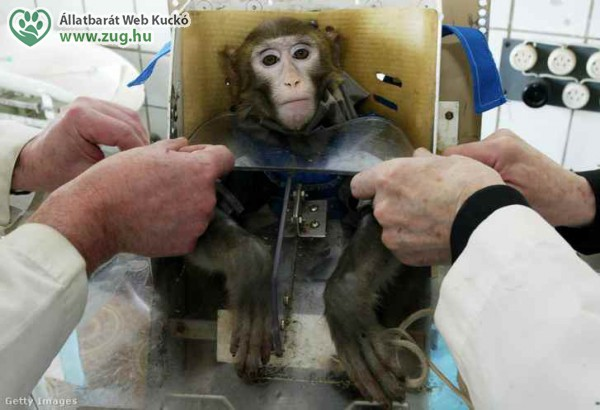 Kísérleti állat - majom a laborban