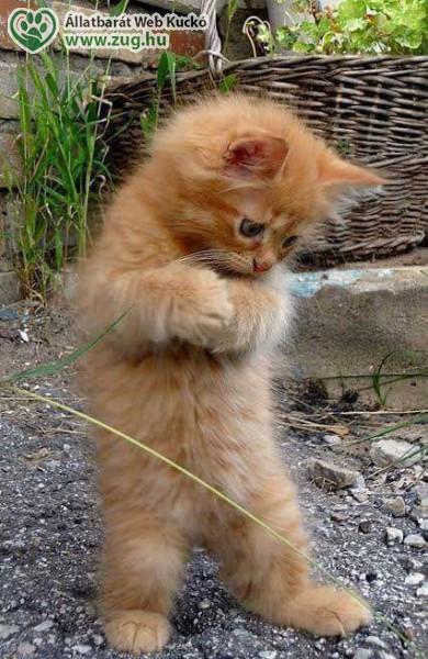 Vörös kiscica