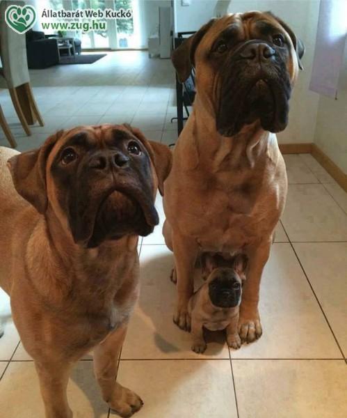 Boxer kiskutya, kutya család