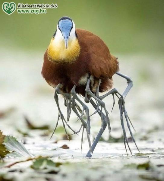 Jacana madár, fiókáit a szárnya alatt hordja
