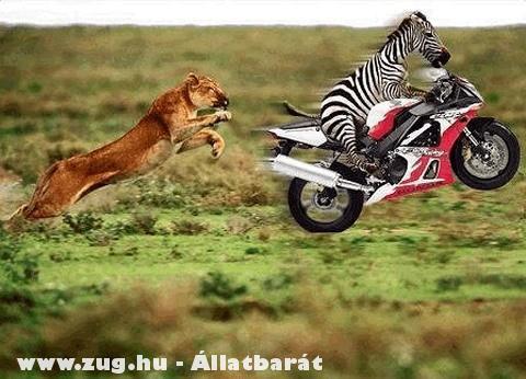 A tigris elõl menekülõ zebra