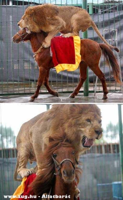 Lovagló oroszlán