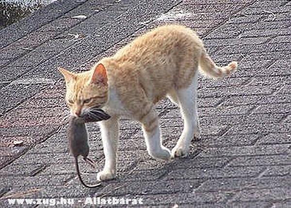Pockos macska