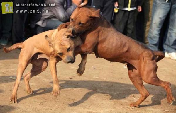 A kutyaviadal bűncselekmény!