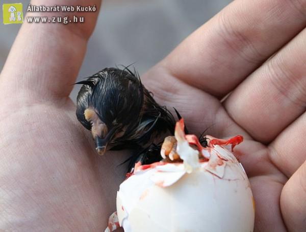 Bio csirke születése