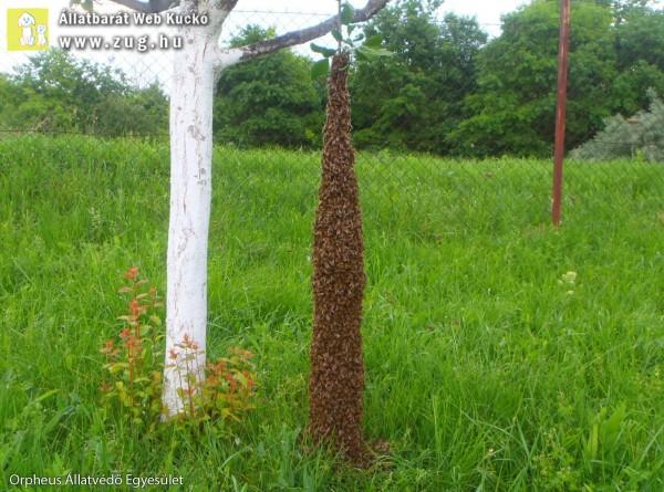 Gigantikus méretű méhcsaládot mentettünk