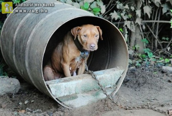 Rosszul tartott kutya, lánc