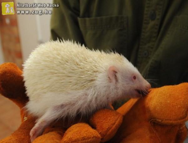 Szegeden találták a ritkaságszámba menő albínó sünit