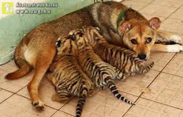 Tigris kölyköket eteti a kutya pótmama
