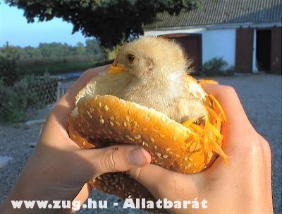 Csibeburger? FUJJ!
