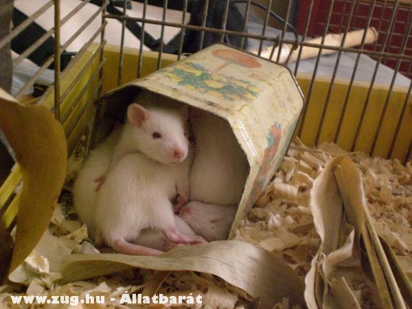 Sok jó patkányka kis helyen is elfér (13db)