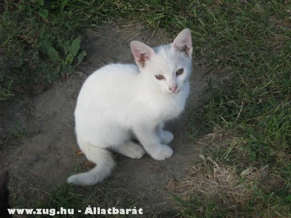 Vili a világ leghuncutabb cicája