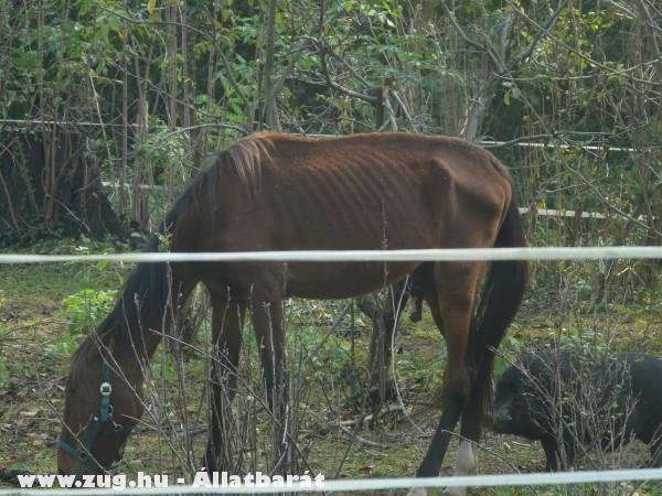 Éhezõ lovak