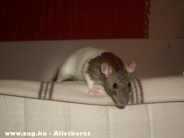 Galagonya a kis patkány