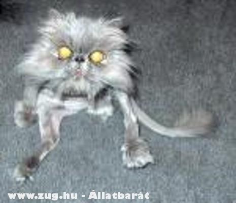 Megnyírt macska