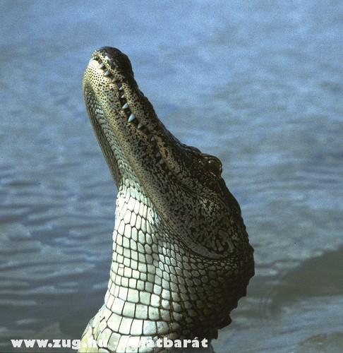 Madarász krokodil