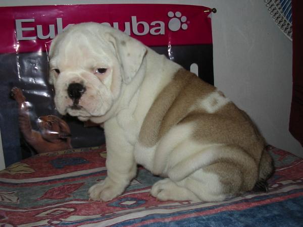 Kisbulldog