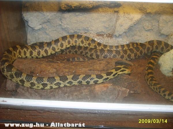 Róka kígyó házaspár