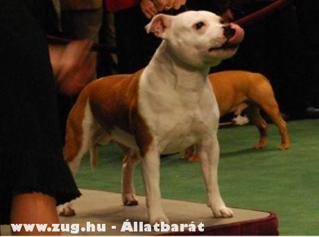Kutyakiállításon (cac, cacib)
