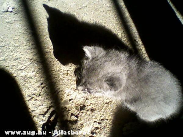 ♥Ribizli macskám kölyke: Szamóca♥