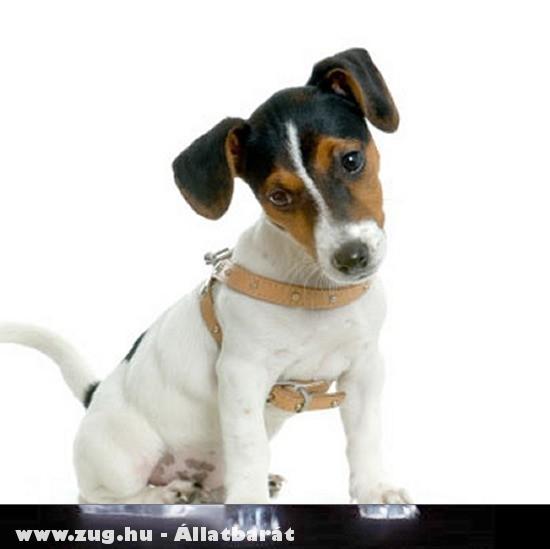 Jack Russel Terrier (kis kölyök)