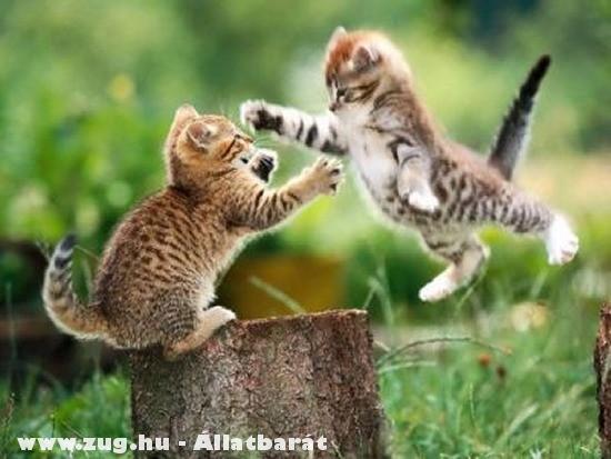 Harcos harci macskák