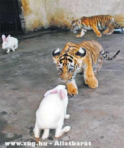 Nyuszi és Tigris