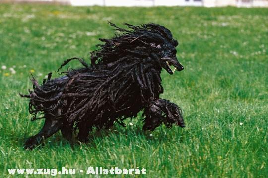 Jamaicai rasta kutya