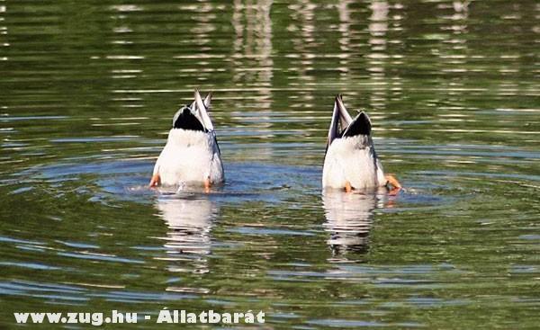 Kacsák vadásznak a tóban