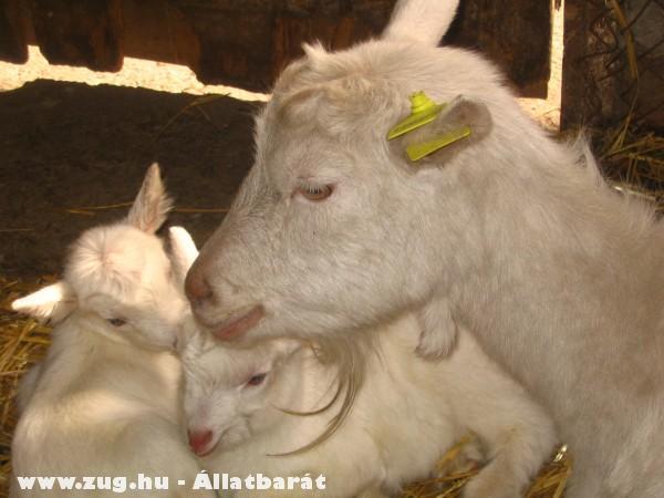 Családi idill - kecskegidák és anyuka